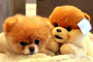 is boo the a pomeranian boo the cutest in the world cats dogs world