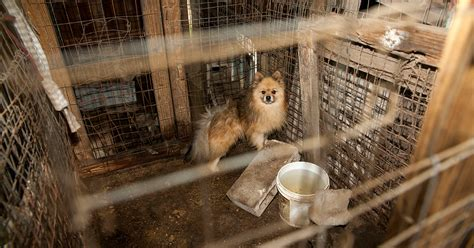 puppy mill aspca petitions u s government for stronger puppy mill