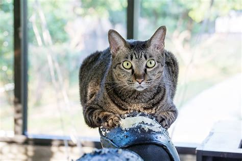 why do cats knead 5 reasons your cat kneads you cattime