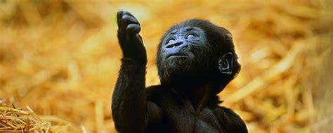 Eastern Lowland Gorilla   Endangered Species   Animal Planet
