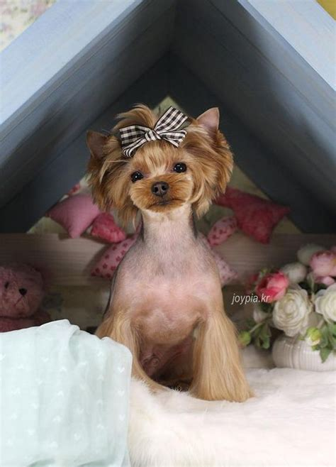 grooming yorkie puppies korean grooming style 235 r info yorkie
