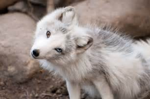Cute arctic fox with blue eyes images amp pictures becuo
