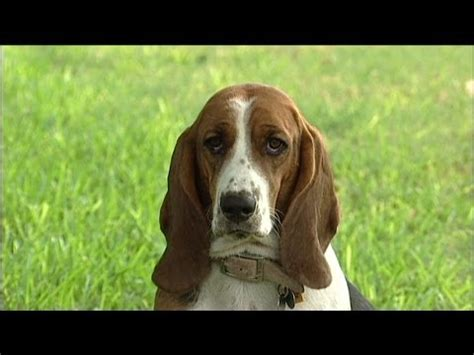 basset hound puppies for sale in florida basset hound puppies dogs for sale in miami florida fl 19breeders tallahassee