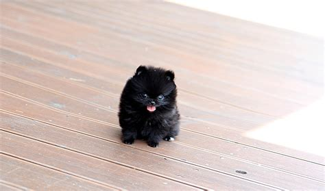 black and white teacup pomeranian chic black teacup pomeranian puppy the cutest the tinnest flickr