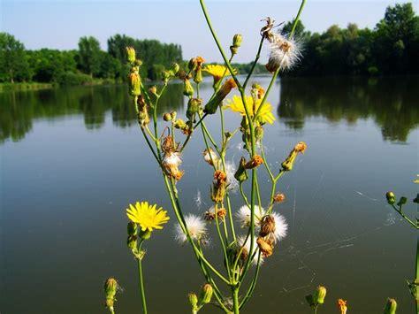mauvaise herbe jaune fleurs photo gratuite sur pixabay
