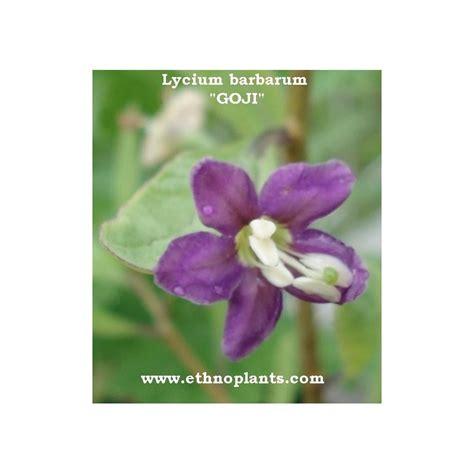 Goji Beeren Pflanzen Kaufen 25 by Goji Gemeiner Bocksdorn Pflanze Kaufen