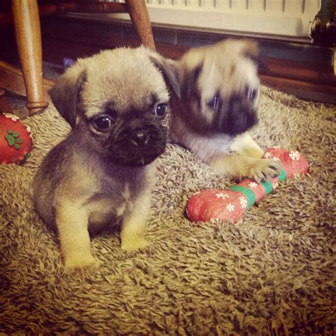 border terrier pug pug x border terrier llanelli carmarthenshire pets4homes
