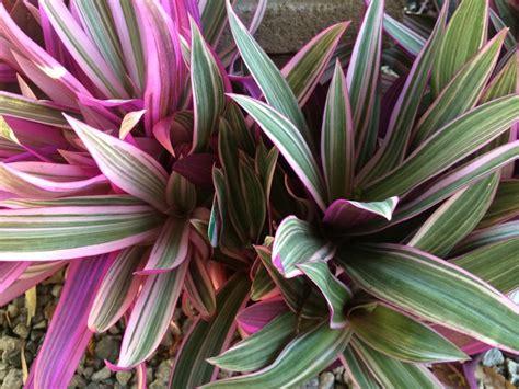 rhoeo stripe  pink common  moses   cradle
