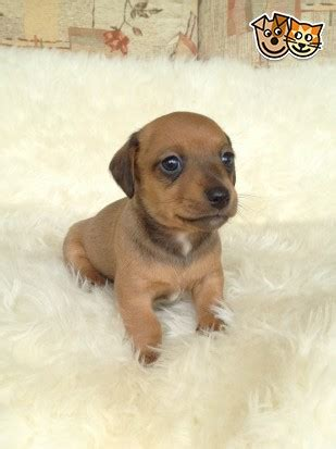 dachshund puppies for sale in birmingham al miniature haired dachshund puppies for sale birmingham uk breeds picture