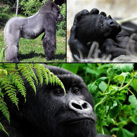 Cross River Gorilla Endangered | www.imgkid.com - The ...