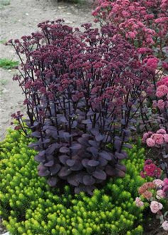 Calendrier Lunaire 2015 Québec Cotoneaster Franchetii Plante En Godet Cotoneaster