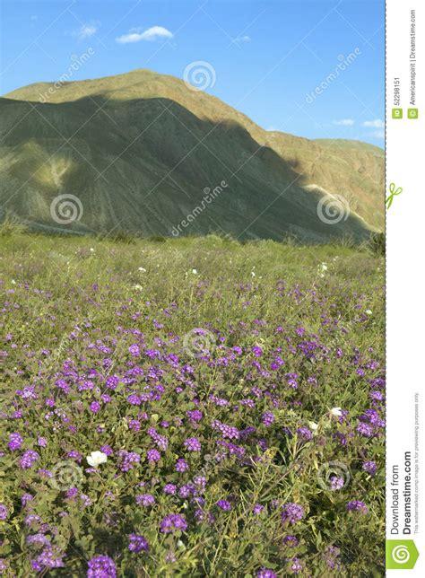 anza borrego henderson 100 anza borrego wildflowers anza borrego desert