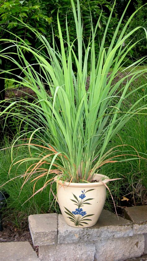 Lemon Grass In Planters by Logee S Tropical Plants Keep Your Tropical Plants