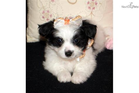 papillon puppy price papillon puppy for sale near springfield missouri 7dd77759 0c91
