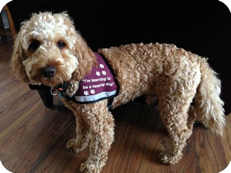 hearing dogs time to be a hearing renovation bay bee