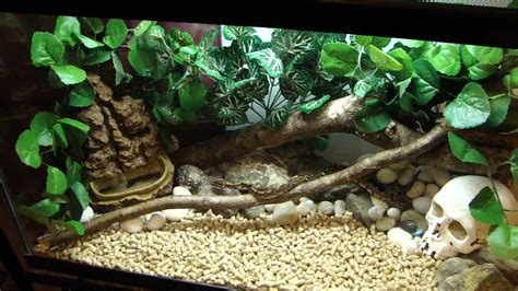 ball python facts  pictures