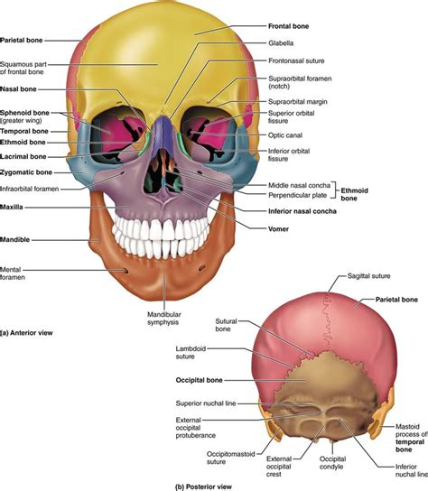 gallery skull and facial bones anatomy anatomy diagram