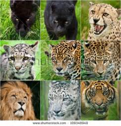 Snow Leopard Vs Jaguar Cheetah Stock Images Royalty Free Images Vectors