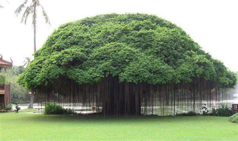picture of tree picture of the day banyan tree 171 twistedsifter