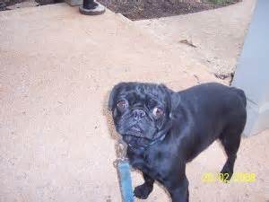 black pug puppies for sale in pa pug puppies for sale