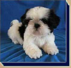 karyon shih tzu karyon shih tzu puppies for sale