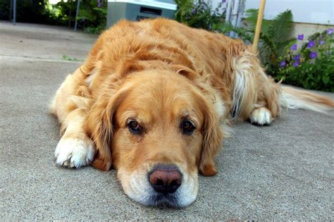 golden retriever upset stomach 3 tips to cure your s upset stomach best in health