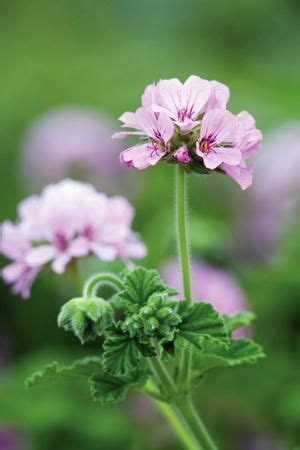 best scented geranium 31 best images about pelargoniums geraniums on the mosquito scented geranium and