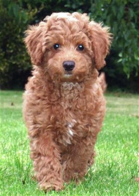 puppy labradoodles for sale in uk australian labradoodles australian labradoodle puppies
