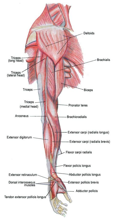 diagram of the forearm arm and bone arm bones and muscles diagram