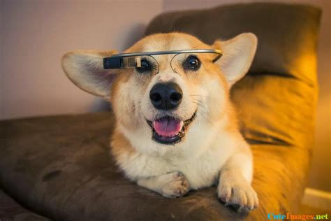 google images puppies a corgi wearing google glass dogs cuteimages net