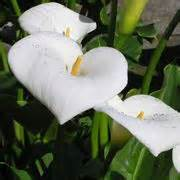 piante e fiori in ordine alfabetico elenco alfabetico dei fiori di piante
