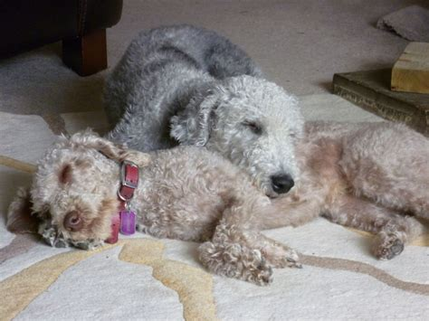 bedlington terrier puppies for sale bedlington terrier puppies bicester oxfordshire pets4homes