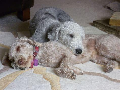 Bedlington Terrier puppies | Bicester, Oxfordshire ...