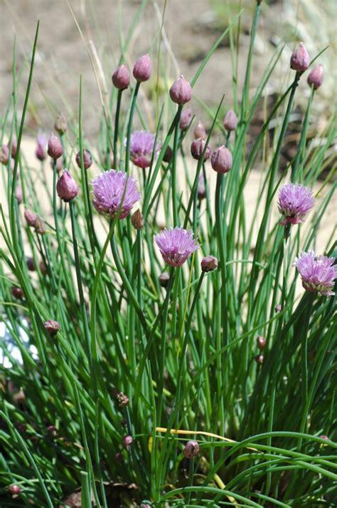 herbs im planting growing   gardengrowing   garden