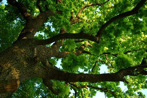 trees in germany national tree of germany oak tree 123countries