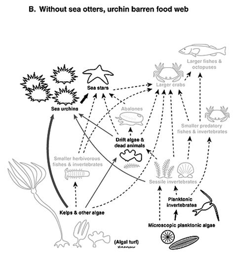 sea otter diagram coral reef food web diagram for ecosystems