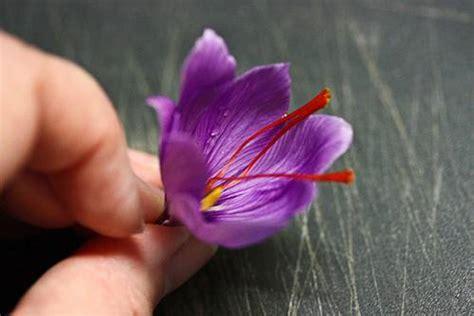 coltivare lo zafferano in vaso come coltivare lo zafferano in vaso e nell orto