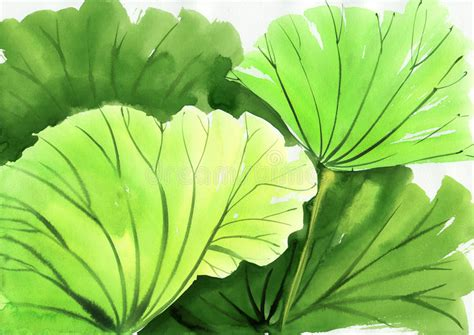 Lotus Leaf Original 30pcs watercolor painting of green lotus leaves stock illustration illustration of decorative lotus