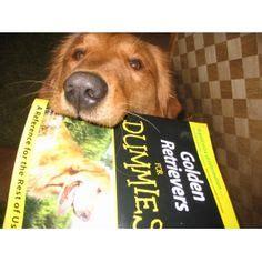 golden retriever for dummies golden retriever puppies on golden retrievers golden retrievers and