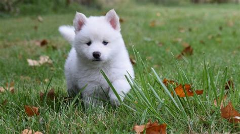what is a pomsky puppy get to pomsky dogs and puppies breeds journal