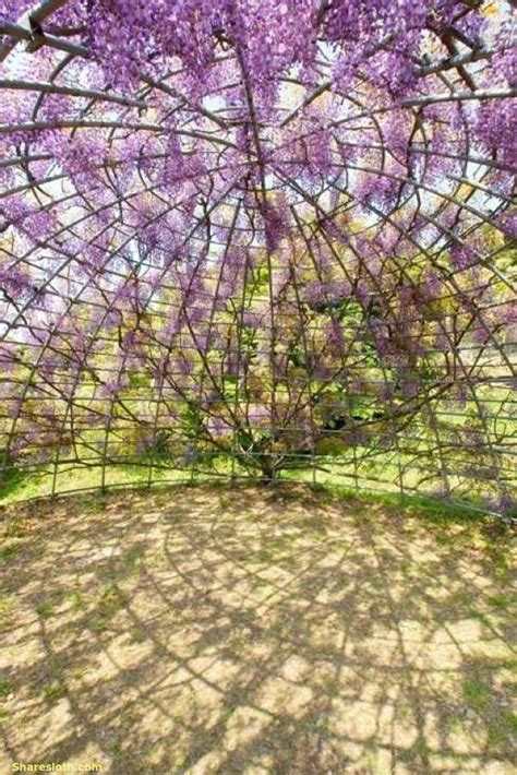 flower tunnel wisteria flower tunnel japan sharesloth