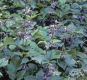 Image result for Clematis China Purple. Size: 173 x 160. Source: www.perennials.com