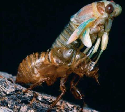Shedding Of The Exoskeleton by Ecdysozoa Html 32 12cicadaecdysis Jpg