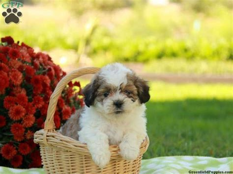 teddy puppies for sale in pa 171 best images about shichon on shih tzu mix poodles and teddy dogs