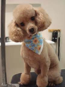 different styles of hair cuts for poodles freshly groomed poodle poodle grooming pinterest