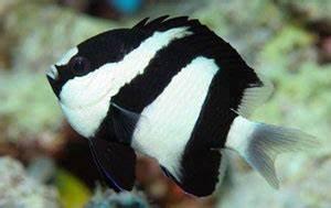 Black And White Damsel Fish (Dascyllus Aruanus)   The Fish Guide