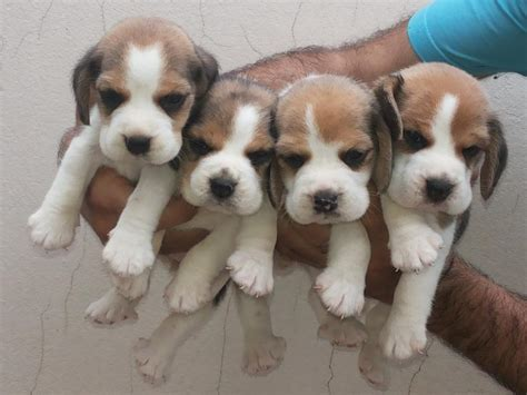 how until puppies open all about dogs beagle jet assure