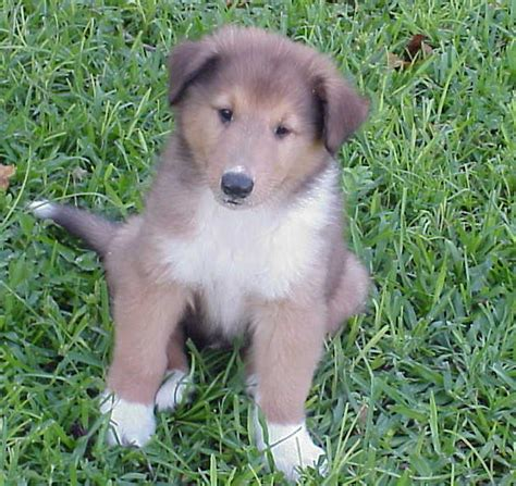 collie puppies for sale baby collies www pixshark images galleries with a bite