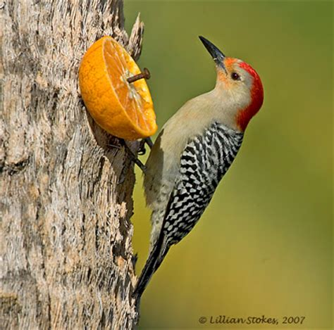 stokes birding blog red bellied woodpeckers the orange