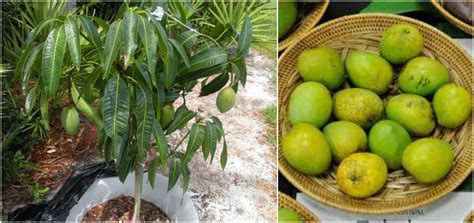 plant  grow container mango tree